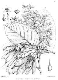 shorea robusta wikipedia