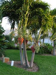 christmas tree palms would like to find some for our backyard next
