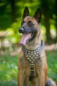 belgian shepherd us army get belgian malinois decorated leather harness