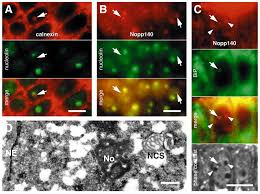 intranuclear endoplasmic reticulum induced by nopp140 mimics the