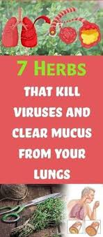 secr aire technique bureau d udes 7 herbs that kill viruses and clear mucus from your lungs herbs