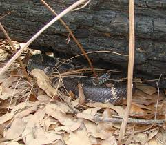 living alongside wildlife kingsnakes keep copperheads in check