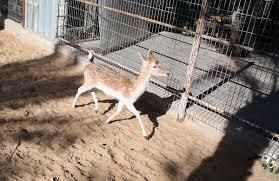 leere käfige ver hungernde tiere zoo von gaza gleicht