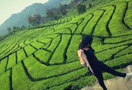 Teh Walini kebun teh walini indonesia travel indonesia