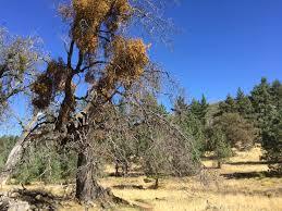 acorns how to plant and grow an oak tree news san diego
