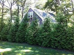 the advantages of planting evergreen trees for privacy homegrown