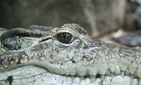 alligator animal close up crocodile lake nature predator