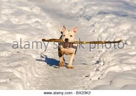 american pitbull terrier jaw american pit bull terrier running stock photo royalty free image
