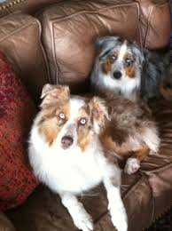 south texas australian shepherd rescue twisted branch aussie ranch about us