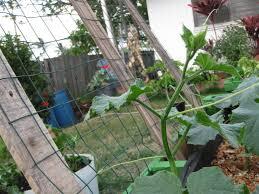 cucumber grow o u0027ahu
