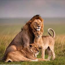 imagenes de leones salvajes gratis los leones en peligro de extinsión animales salvajes y domésticos