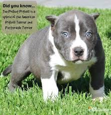 american pitbull terrier size chart pocket pitbull