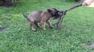 belgian shepherd malaysia alero 8 week old belgian shepherd malinois puppy for sale youtube