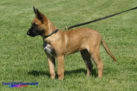 belgian shepherd x malamute belgian malinois puppies