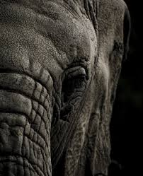 Zim Seeking Seeking Sells At Least 35 Elephants To China News24