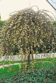 buy salix kilmarnock weeping willow tree unwins