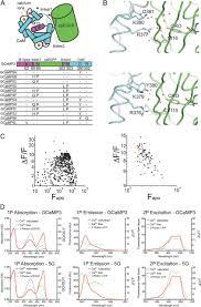 optimization of a gcamp calcium indicator for neural activity