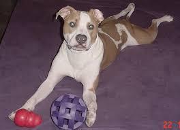 american pit bull terrier lab mix pit bulls pitbulls ridgeback shepherd labs dogs city