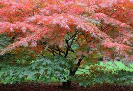 bloodgood japanese maple trees for small yards