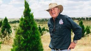 sales of pine christmas trees surge in canberra