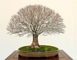 bonsai saule pleureur 262 jpg 1500 1162 hokidachi balais pinterest