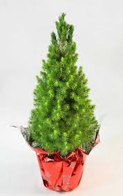 miniature christmas trees buy alberta spruce miniature christmas tree online free