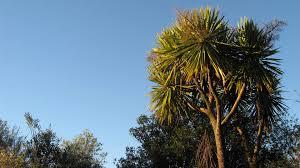 new zealand native plants and trees cabbage tree ti kouka native plants