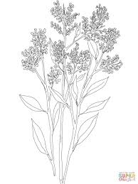 gypsophila or baby u0027s breath coloring page free printable