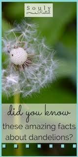 Dandelion Facts 25 Beste Ideeën Over Dandelion Meaning Op Pinterest