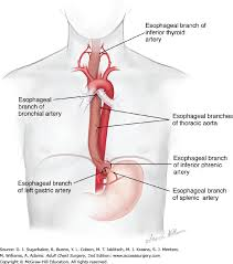 Esophagus And Stomach Anatomy Overview Anatomy And Pathophysiology Of Benign Esophageal Disease