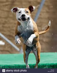 american pitbull terrier jumping happy dog jumping off a dock into the pool stock photo royalty