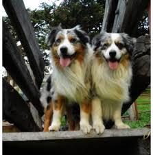 australian shepherd puppies queensland australian shepherds australian shepherd breeder south australia