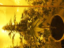 opium by paradise seeds seedfinder strain info
