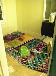 Guinea Pig Cages Cheap My Friends Cat Grew Up With Guinea Pigs Sometimes She Forgets She