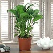 Peace Lily Peace Lily Plant Gift Peace Lily Plant In A Vase Ferns N Petals