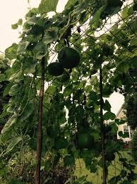 yard of gourds behind cohutt u0027s fence