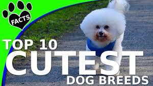 ozzie a bichon frise top 10 cutest small dog breeds dogs 101 w ozzie bichon frise