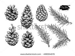 pine cone stock images royalty free images vectors