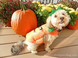 halloween costumes for yorkies dogs pumpkin yourdesignerdog