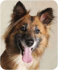 belgian sheepdog breeders in illinois foxy adopted dog chicago il sheltie shetland sheepdog