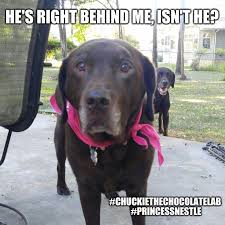 Chocolate Lab Meme - 154 best chuckie the chocolate lab images on pinterest
