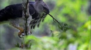 jungle eagle harpy eagle fact sheet nature pbs