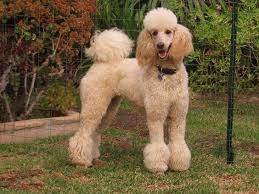 different toy poodle cuts beyond shaved feet popular poodle cuts iheartdogs com