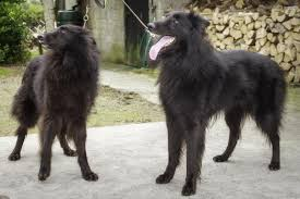 belgian sheepdog nz bed and breakfast walkers nest carlingford ireland booking com