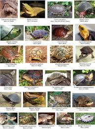 Laghetto Artificiale Fai Da Te by 25 Specie Tartarughe Terrestri E Acqua Dolce In Estinzione Big Jpg