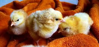 free stock photo of animals chicken