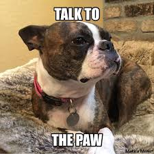 Boston Terrier Meme - 61 best boston terrier memes dogs and puppies too images on