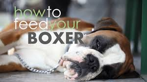 fat boxer dog choose a top 5 food for boxers 2017 review