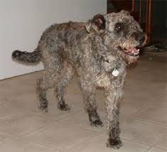 belgian shepherd labrador cross kerry blue terrier mixes kerry blue terrier foundation