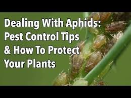 Gardening Pest Control - 445 best garden pests and organic solutions images on